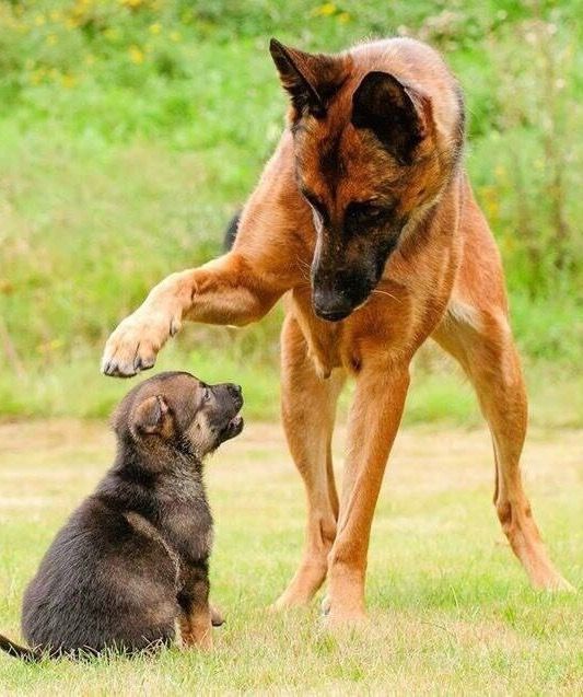 Cool You Are Knighted Young Gsd Hope You Re Doing Well From Your Friends At Phoenix Malinois Dog Puppies Dogs