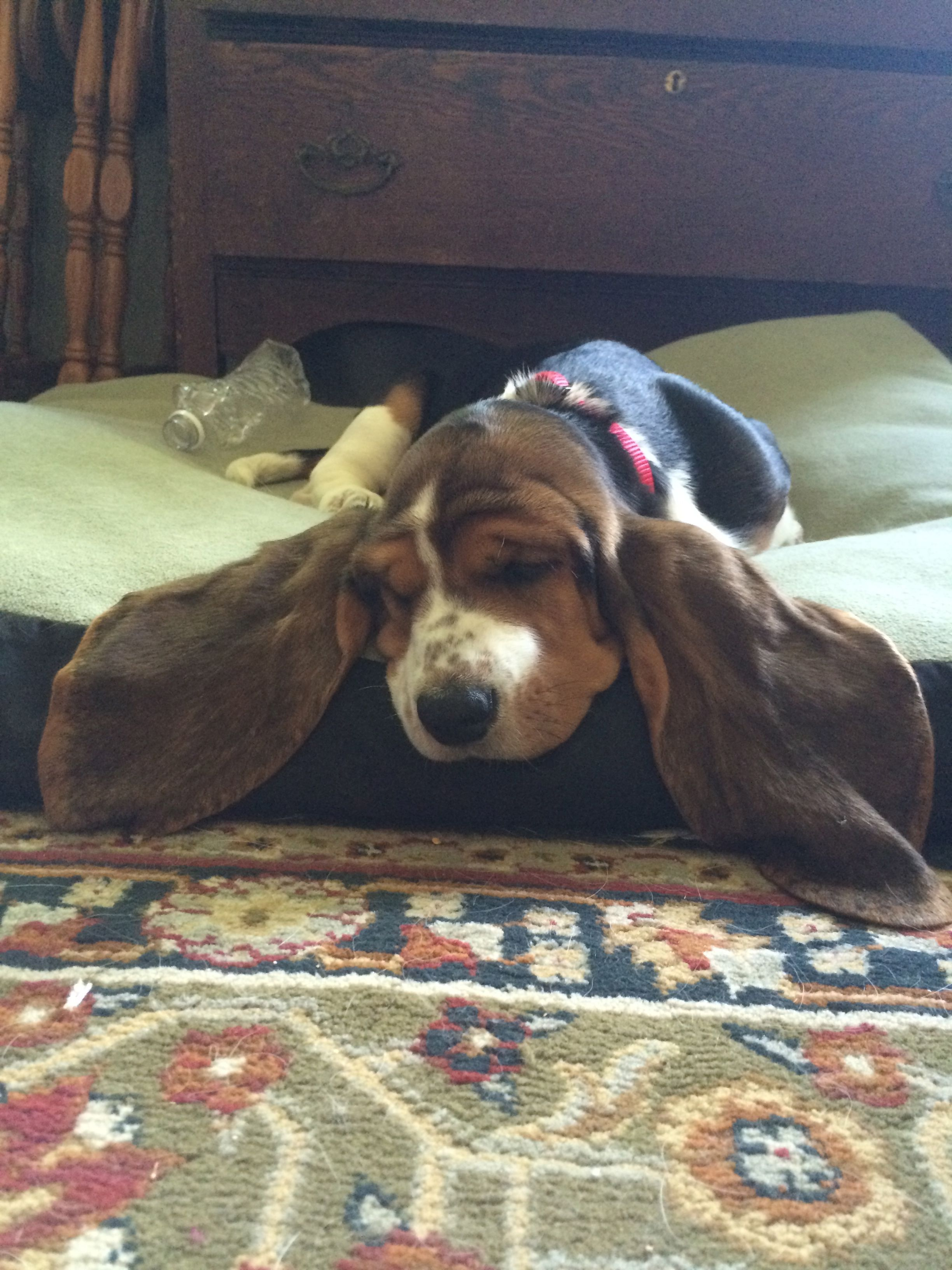Our Basset Hound Puppy Dreaming She Can Fly Basset Hound