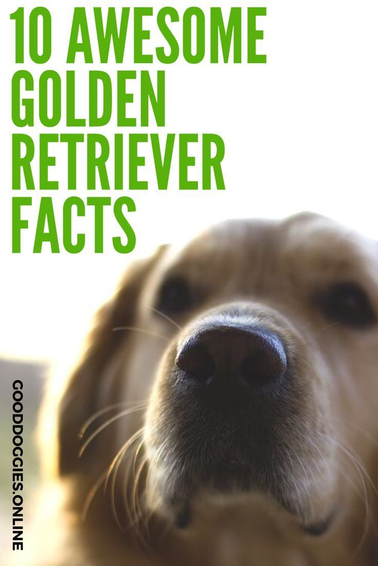 10 Amazingly Interesting Facts About Golden Retriever Hunde Leben Think