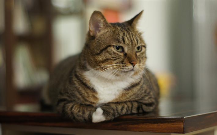 Telecharger Fonds D Ecran L American Bobtail 4k Museau Des Animaux Mignons Des Chats Comportamento Del Gatto Gatti Bobtail Americano