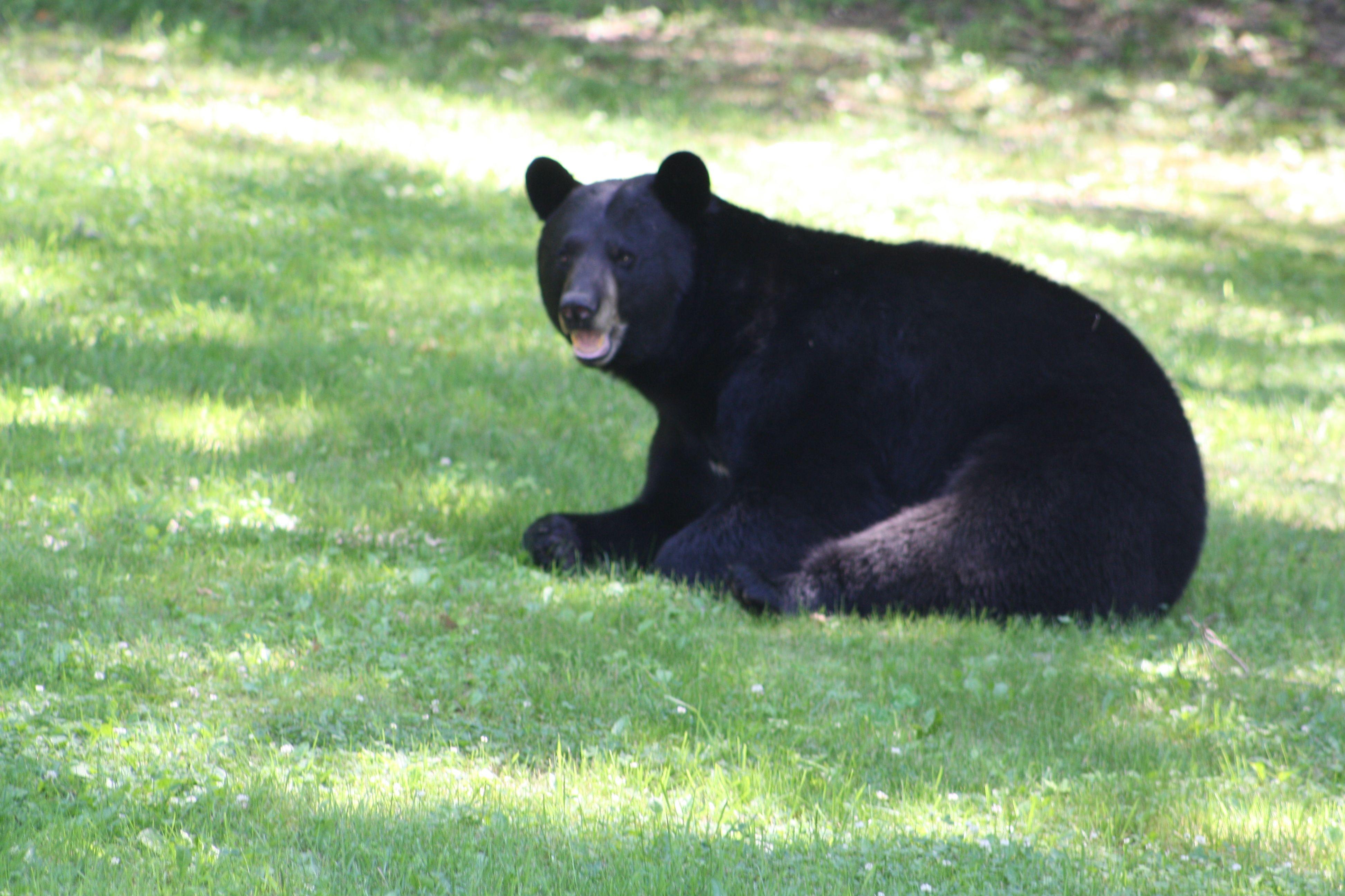 a visitor to my backyard   Black bear, Animals, Backyard