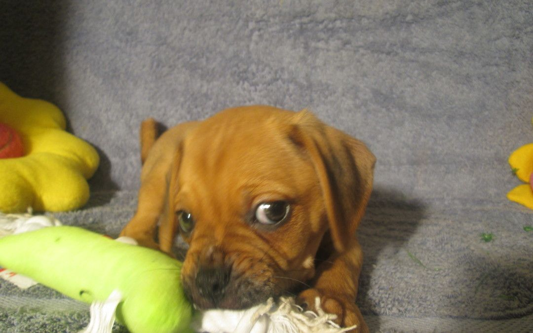 Puggle 5963 So Cute Looks Like This Puggle Is Thinking Snack Time Puggle Puggle Puppies Puggle Puppies For Sale