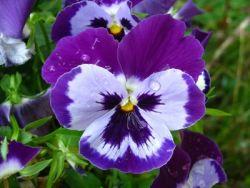wann kann man stiefm tterchen pflanzen viola pinterest stiefm tterchen stiefm tterchen. Black Bedroom Furniture Sets. Home Design Ideas