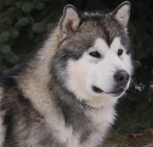 Alaskan Malamute Puppies Ckc Registered Alaskan Malamute