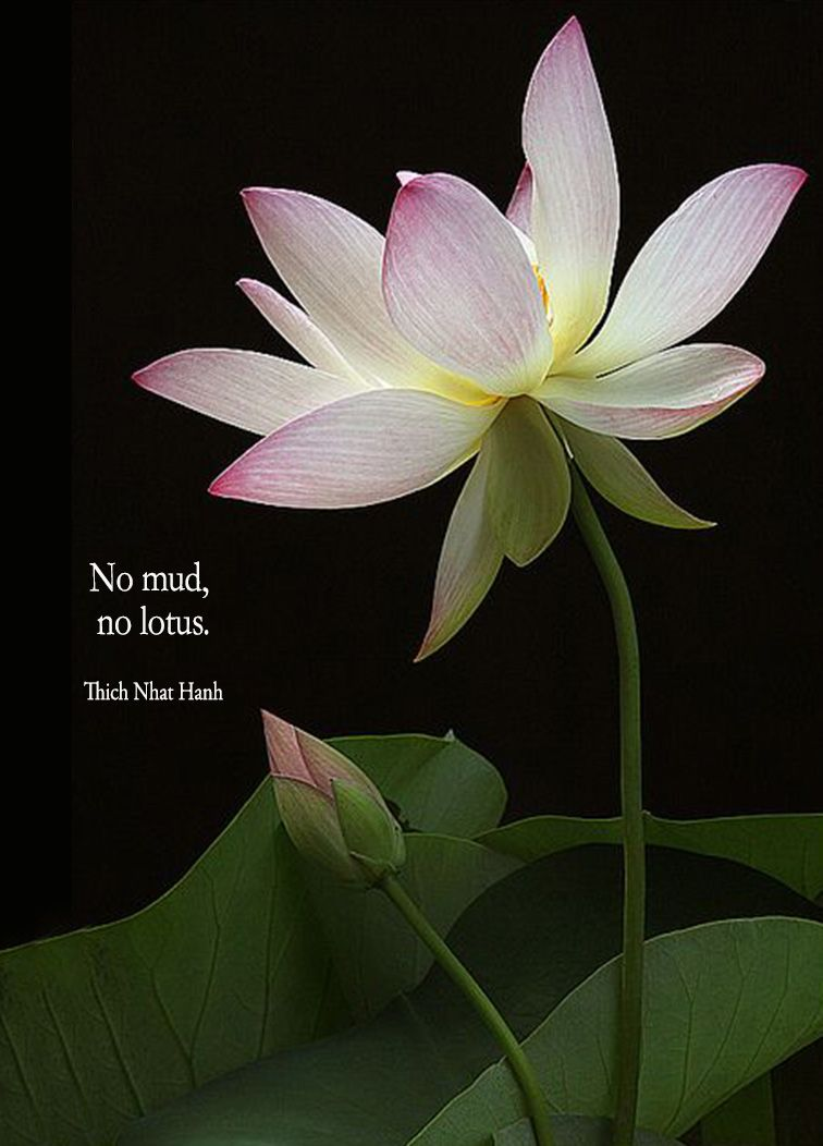 No mud lotus perspective pinterest lotus flowers and the lotus is a flower that grows in the mud the thicker and deeper the mud the more beautiful the lotus blooms you are like the lotus flower things dhlflorist Images