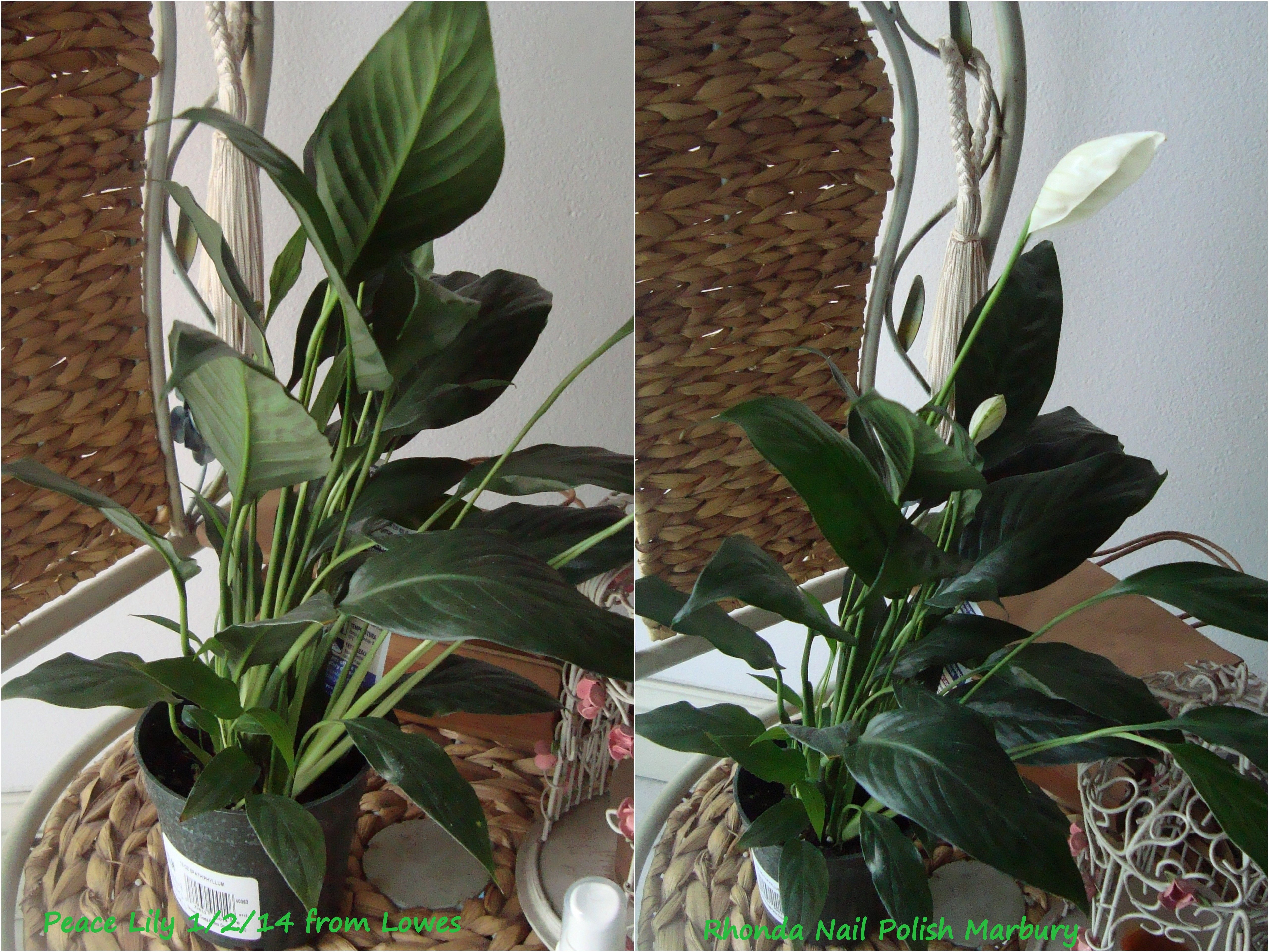 Peace lily spathiphyllum came with 4 bloomspurchase from peace lily spathiphyllum came with 4 bloomspurchase from lowes izmirmasajfo Choice Image