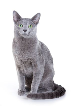 Russian Blue Cats Russian Blues Have Green Eyes Chartreux Have