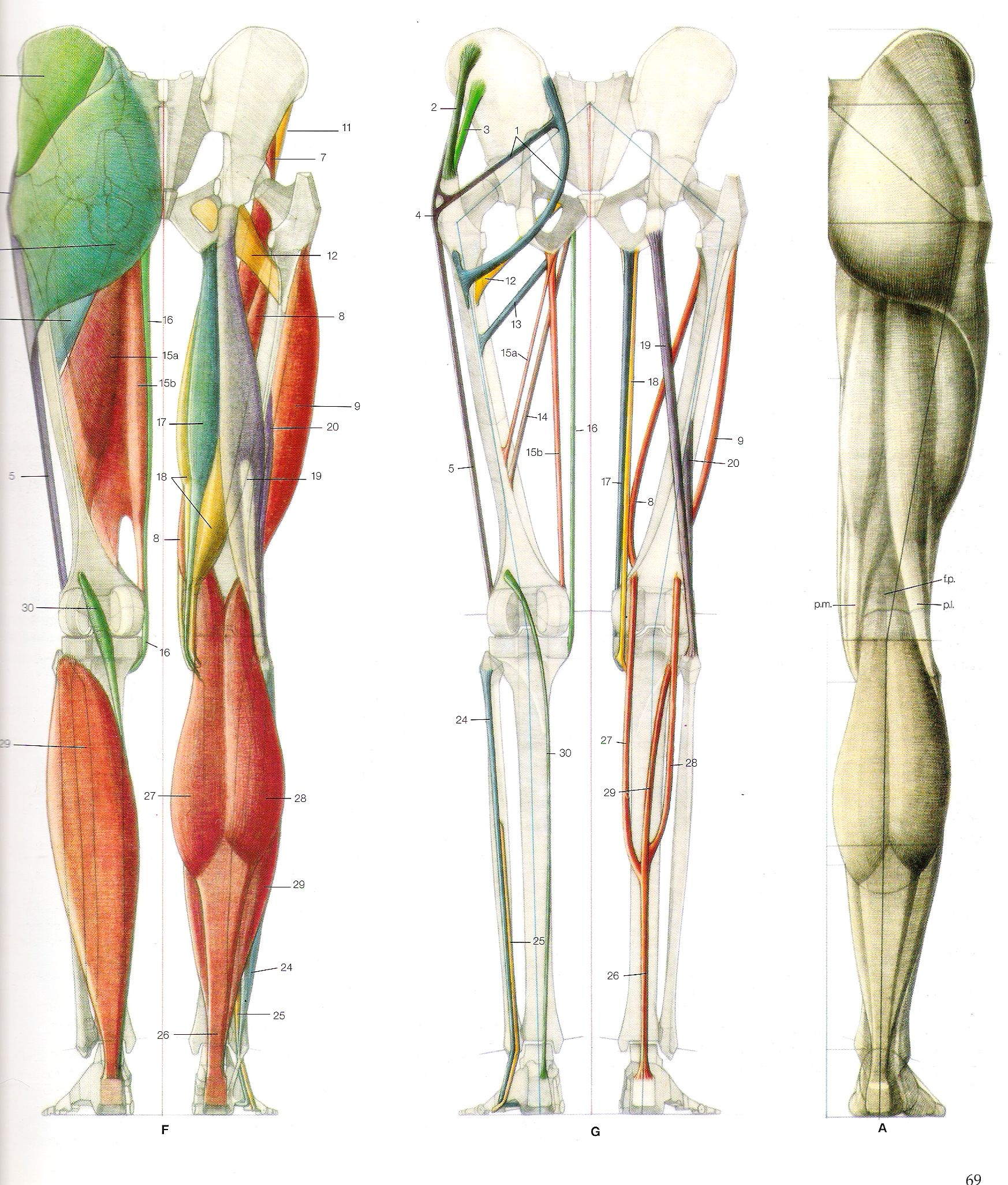 buttock and legs posterior | Anatomy | Pinterest | Anatomy ...