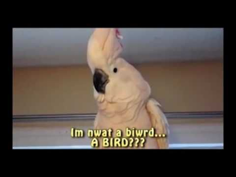 Pissed parrot video