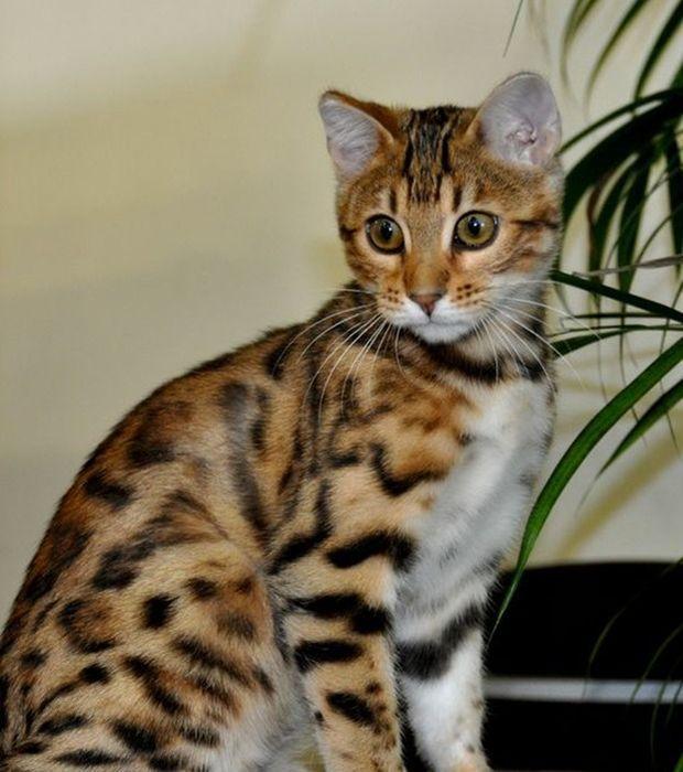 Wild Tiger Bengal Katzchen Katzen Lustige Katzen