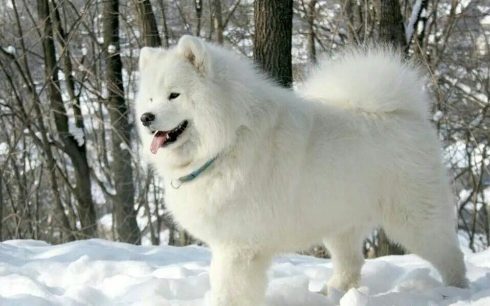 Synonym For Fluffy Samoyed Dogs Dog Breed Photos Husky Dogs