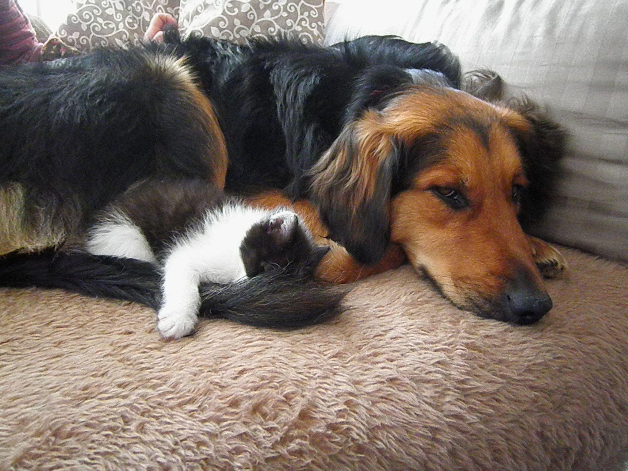 Golden Retriever / Smooth Collie mix (mit Bildern) Hund