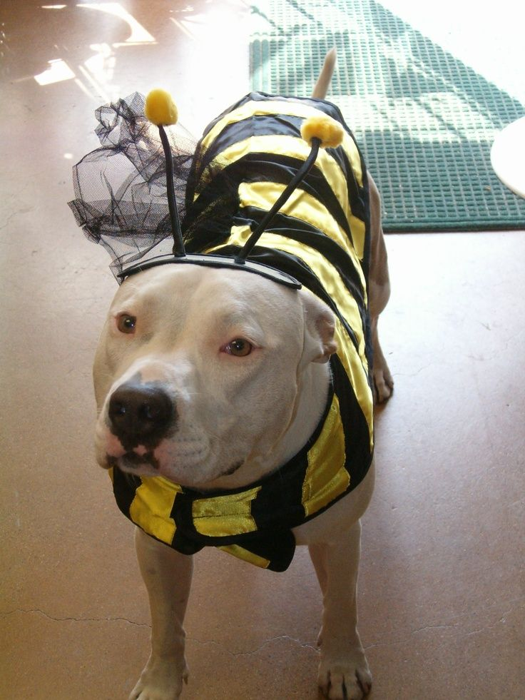 Even Pitbulls Know We Need To Save The Bees Pitbull