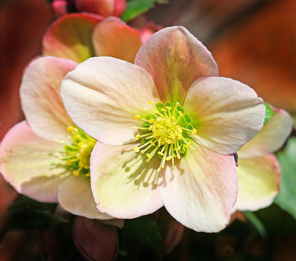 Цветы рохана фото