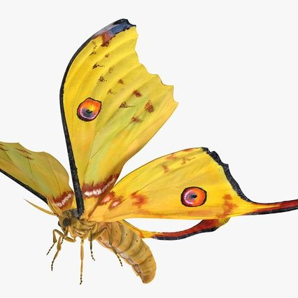 comet moth flying pose render 2 with images  moth