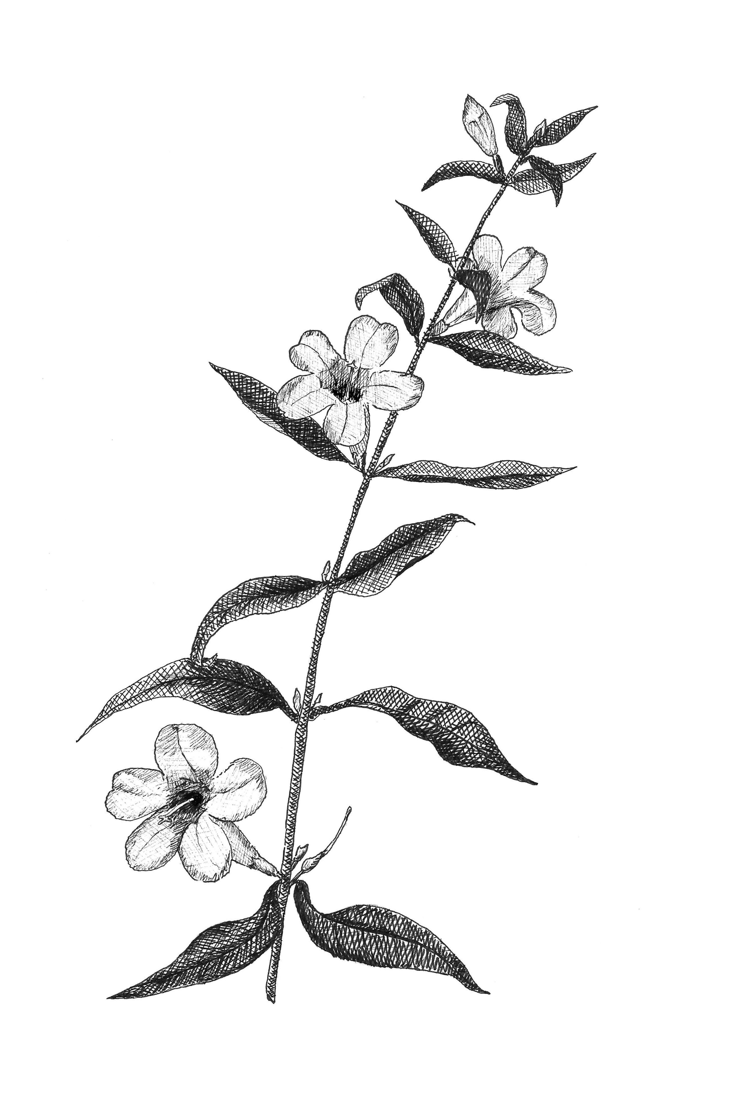 State Flower Of North Carolina