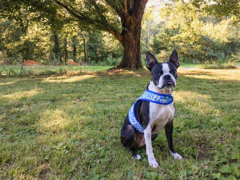 Free Diy Dog Harness Tutorial Dog Harness Dog Harness Tutorial