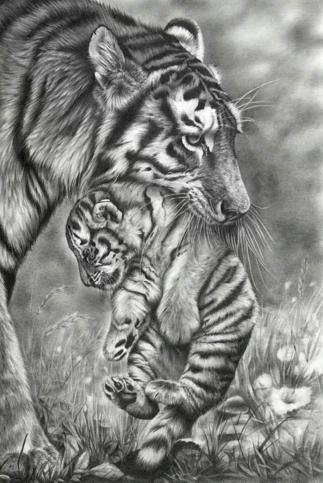 картинки тигров и тигрят карандашом обычная соска