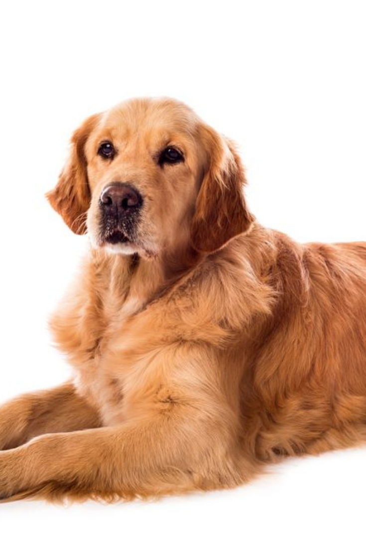 Golden Retriever Dog Isolated On A White Background Goldenretriever In 2020 Golden Retriever Dogs Golden Retriever Retriever Dog