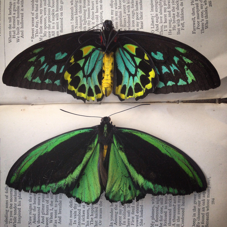 butterfly pris