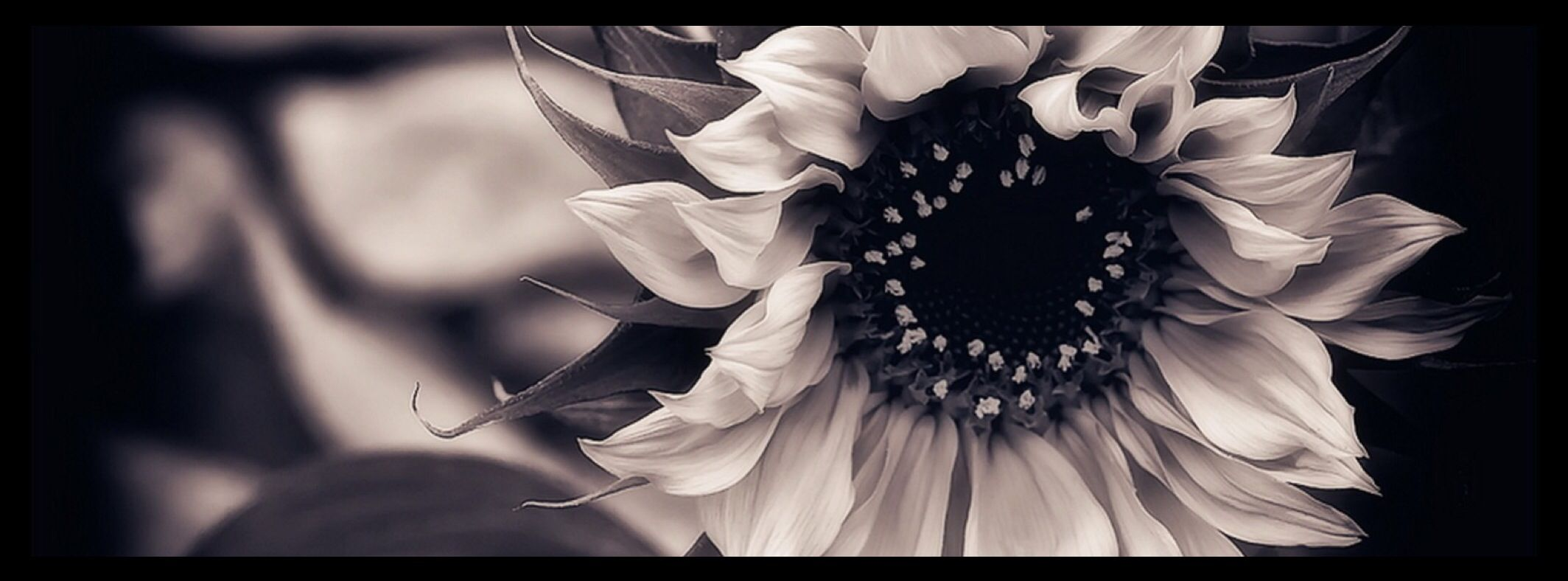 Black and white sunflower facebook cover photo