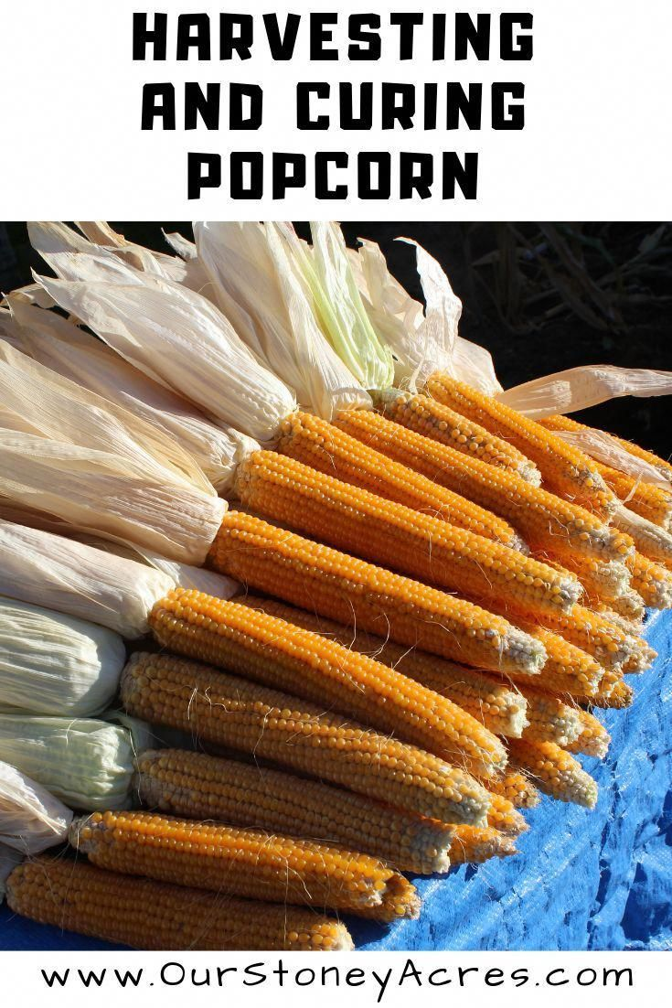 Learn the best tips for harvesting and curing popcorn from your own backyard garden.