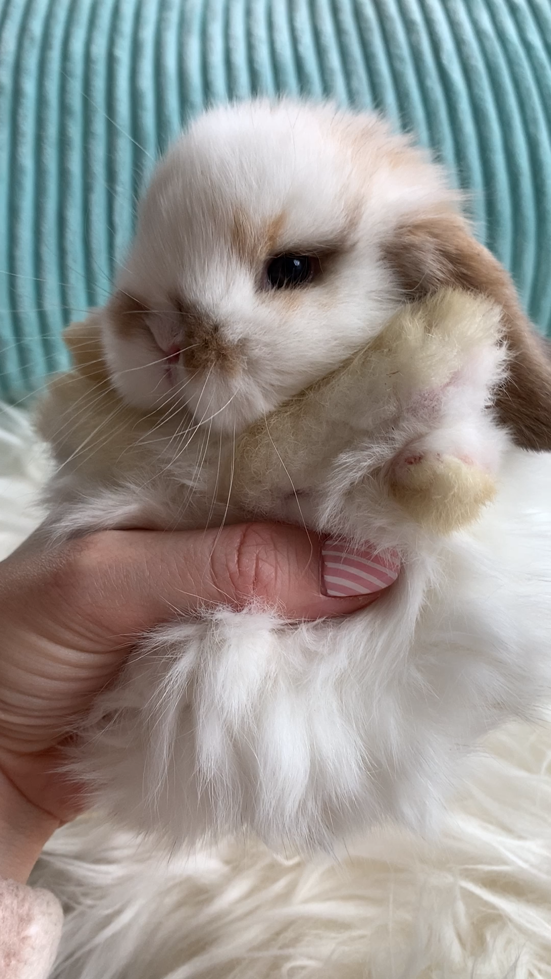 This little bunny is so precious. Fluff to the max. We could just snuggle this fluff ball all day. || Live Sweet #sweetfluff #bunnylove #pets #animallove #livesweet @livesweet