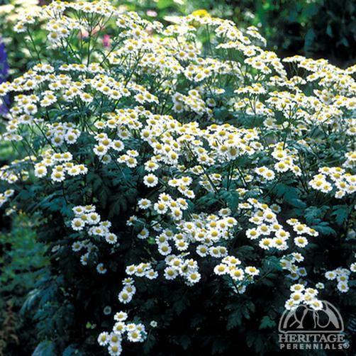 Tanacetum Parthenium Double White Plants Deer Resistant Garden Perennials