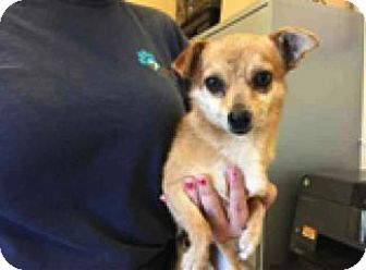 Chihuahua Mix Dog For Adoption In Seattle Washington Fonzie