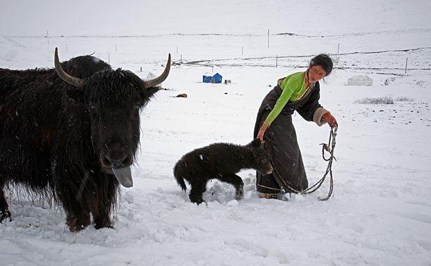 #Tibet. Iaque fêmea e seu filhote.