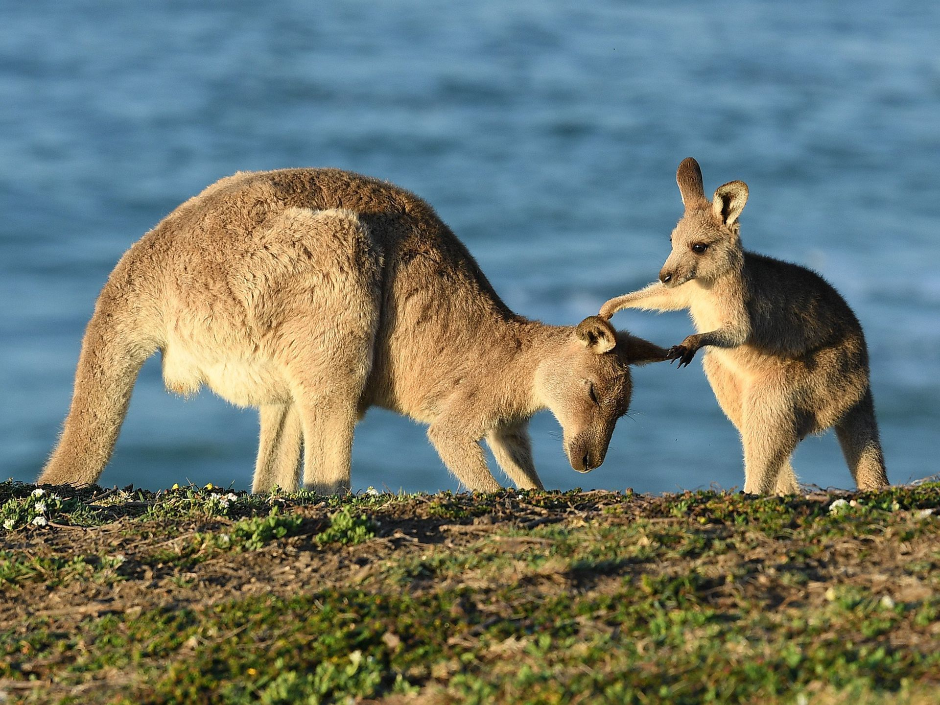 An Eastern Grey Kangaroo Joey Plays With Its Mother At Sunrise On Look Me Now Headland Emerald Beach North Of Coffs Harbour In New South Wales