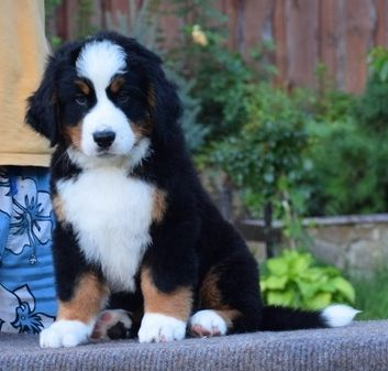 Penny The Bernese Mountain Dog And Future Momma Of Our Bernedoodle Pups Bernedoodle Bernese Mountain Dog Mountain Dogs