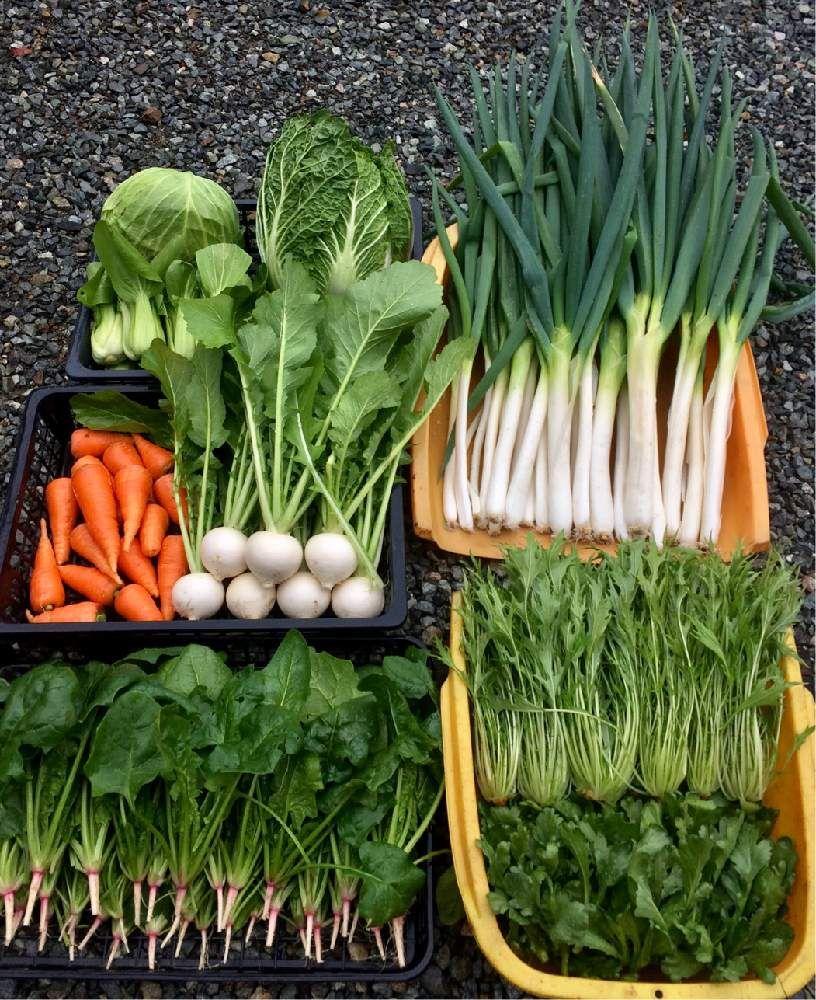 野菜の投稿画像 By アラパンさん 家庭菜園と自家製野菜と家庭菜園奮闘
