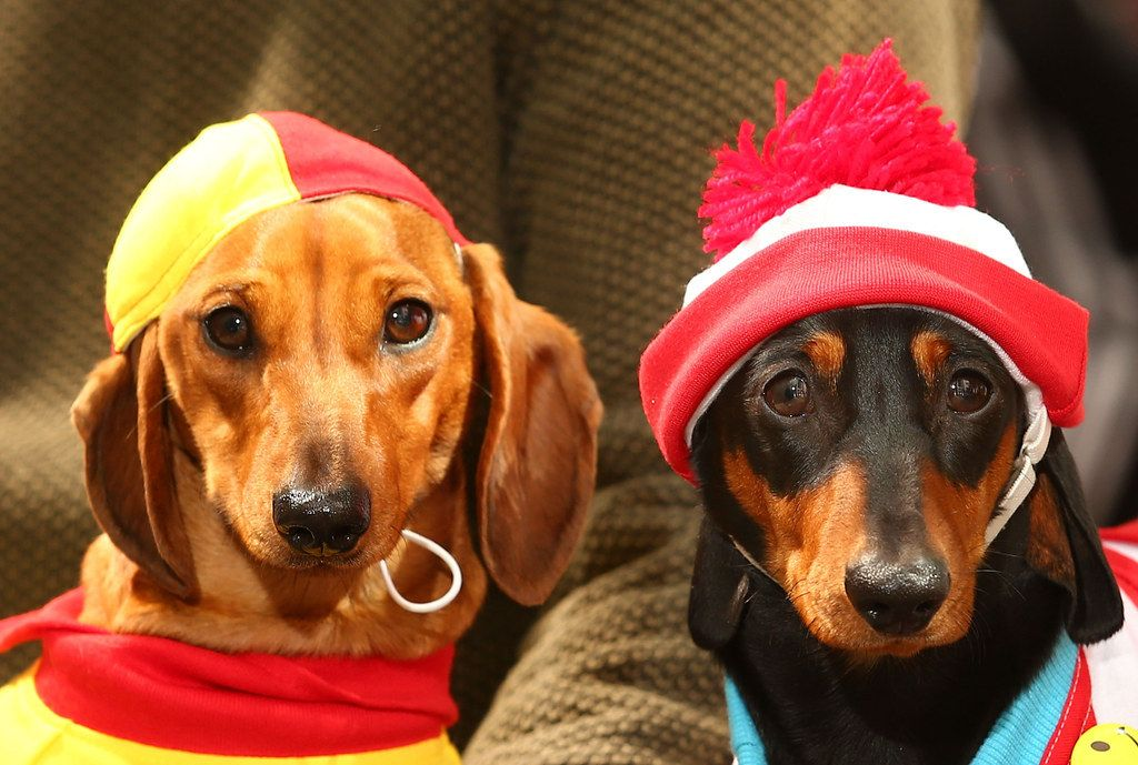 So. On. Point. puppies Dog costumes, Dachshund