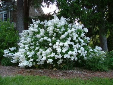 White lilac bush 2 garden pinterest lilac bushes for White flowering bush