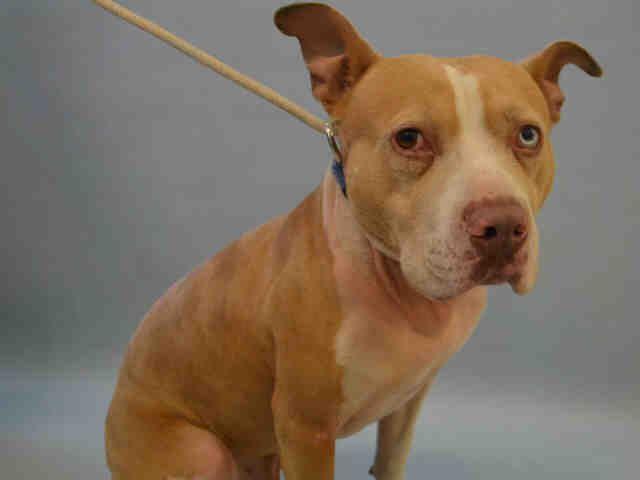 Red Aka Red Velvet A1104015 Pitbull Mix Dog Adoption Pets