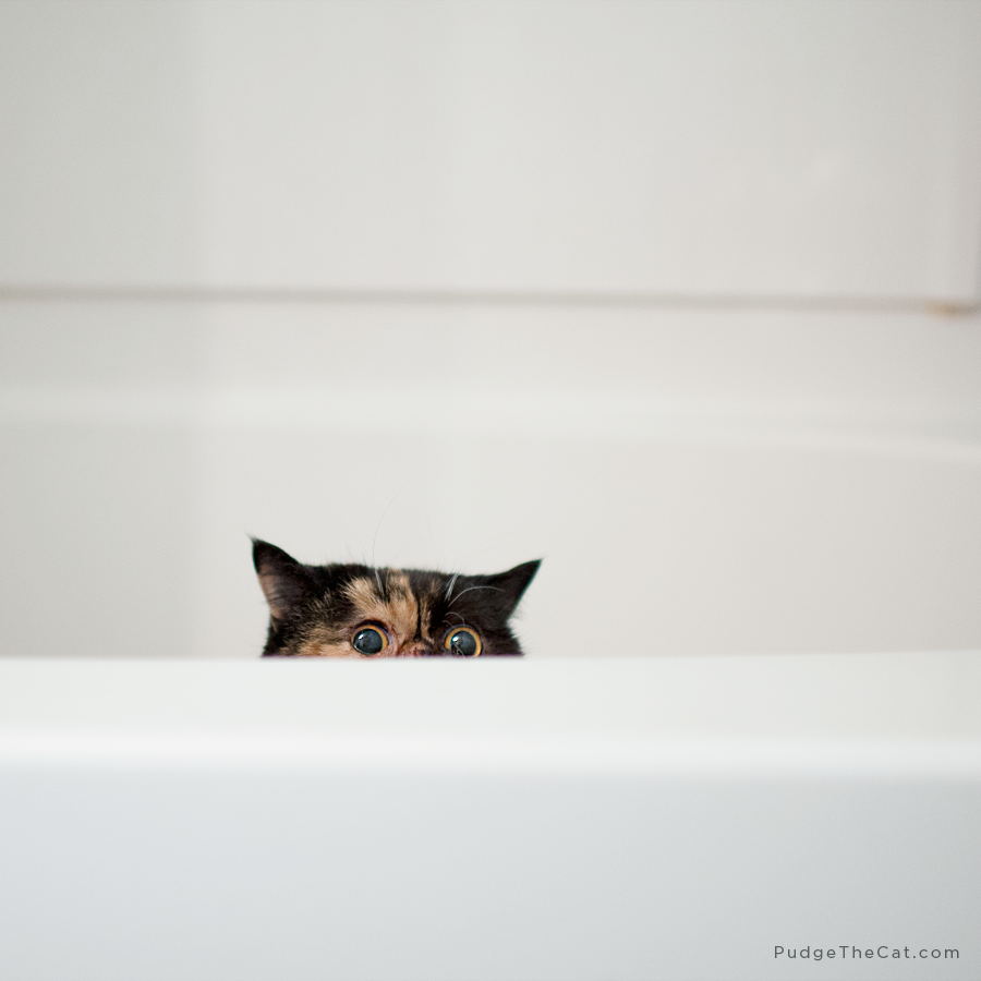 Pudge the Cat • Daily Pudge #379 | Pudge the Cat | Pinterest | Cat ...