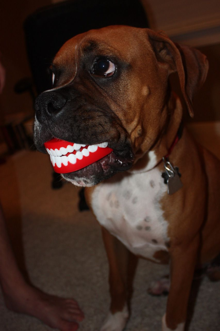 Lol Now That S Just Not Right Lol Hmmm I Think The Teeth Are Upside Down Boxer Dogs Boxer Dogs Funny Boxer Love