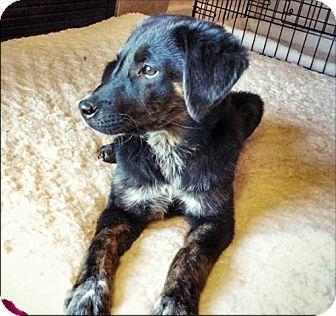 Centennial Co Australian Shepherd German Shepherd Dog Mix Meet Sassafras A Puppy For Adoption Shepherd Dog Mix Puppy Adoption Dogs