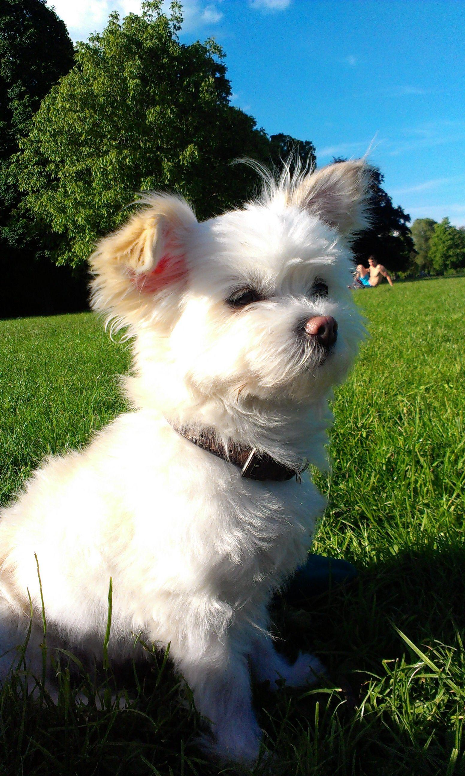 Henry Chihuahua Malteser Mix Pawshake Babytiere Tiere Hunde