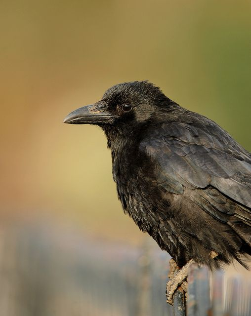 ♥ Carrion Crow ~ Corvus corone