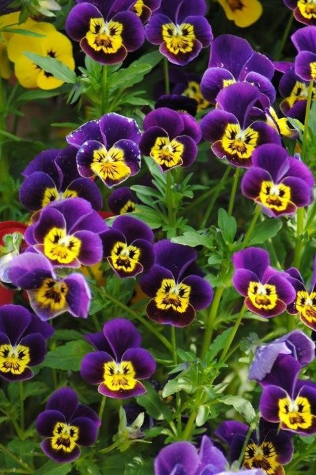 So Ready For Spring And Pansies Pretty Flowers Pansies Flower