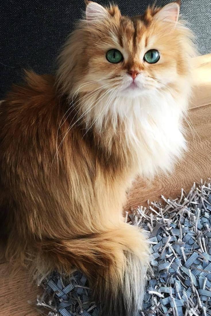 Smoothie es (posiblemente) la gata más bonita del mundo