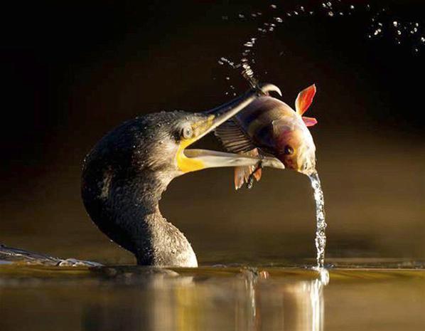 Cormorant eats a perch (© Ben Hall/Rex Features)