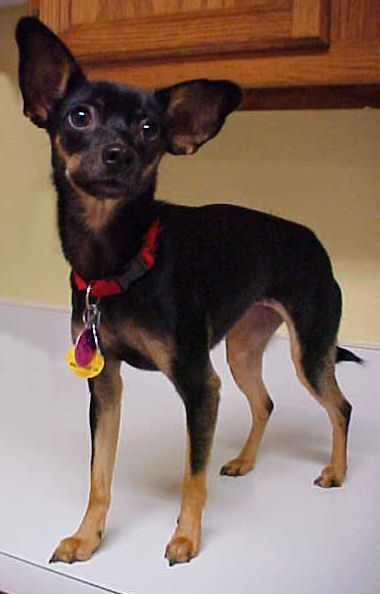 Adopt Angelina 8 Pounds On Chihuahua Mix Puppies Rat Terrier