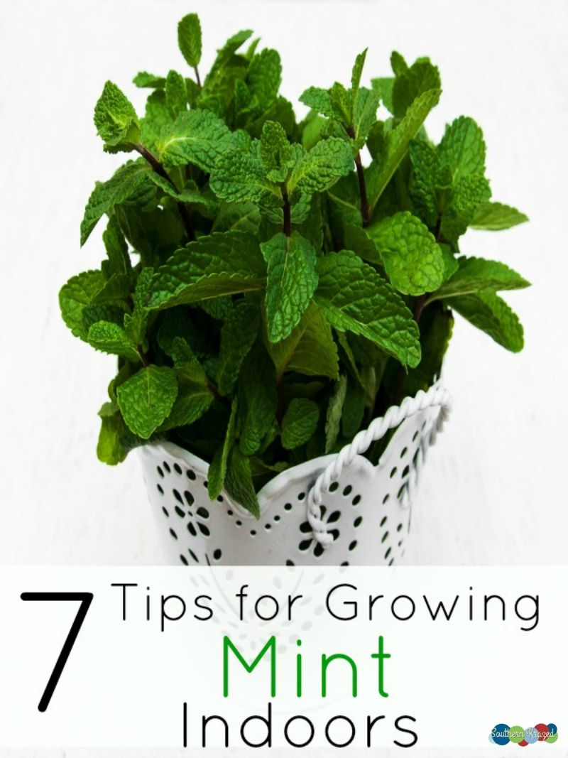 how to grow mint indoors step by step
