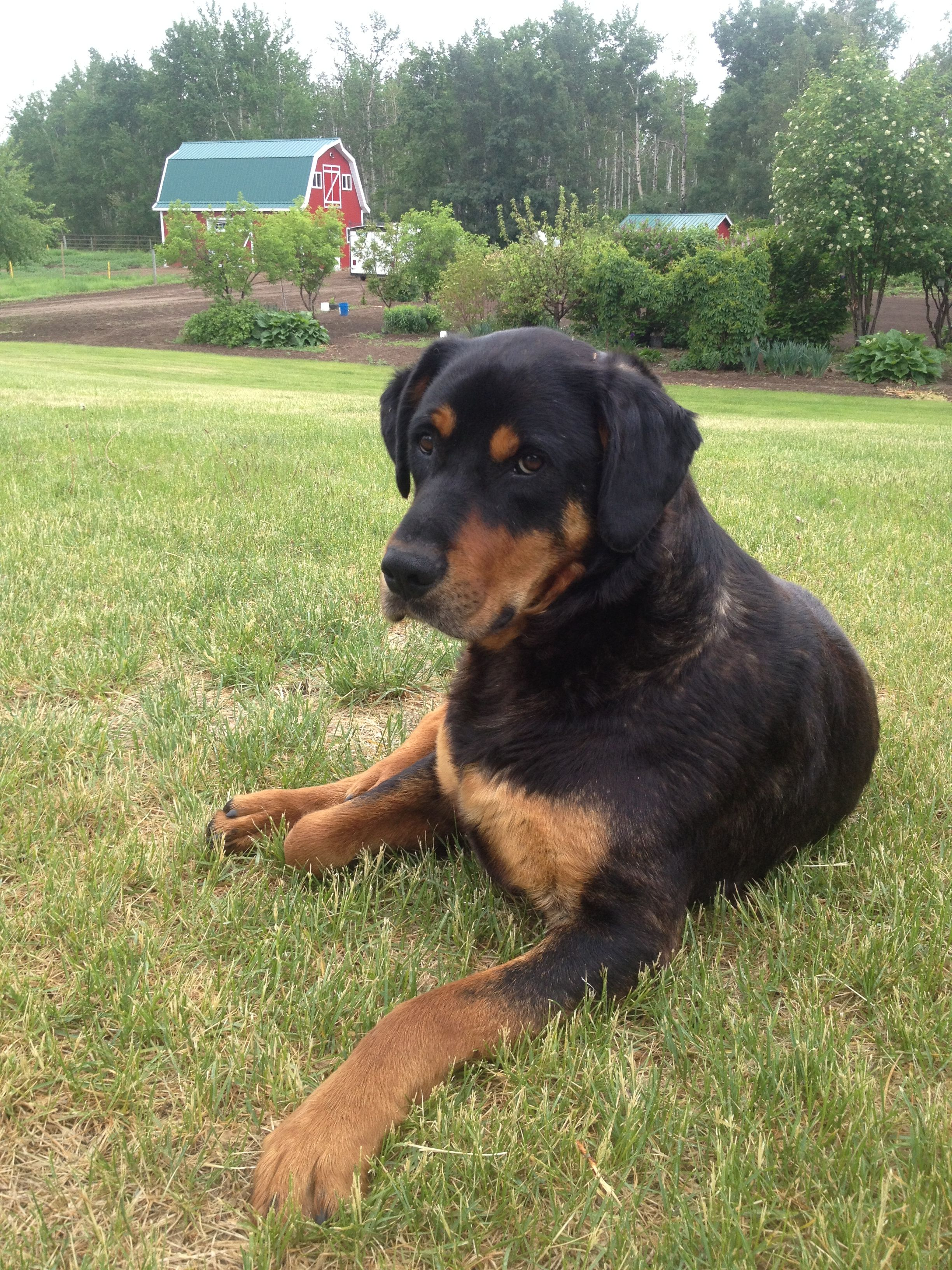 That Is Hobo And He Sure Does Look Like This Type Of Rottweiler