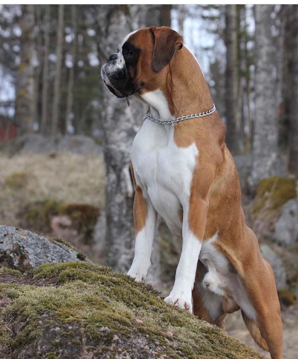 Boxer Strike A Pose Vogue Boxer Dogs Best Dogs Dogs