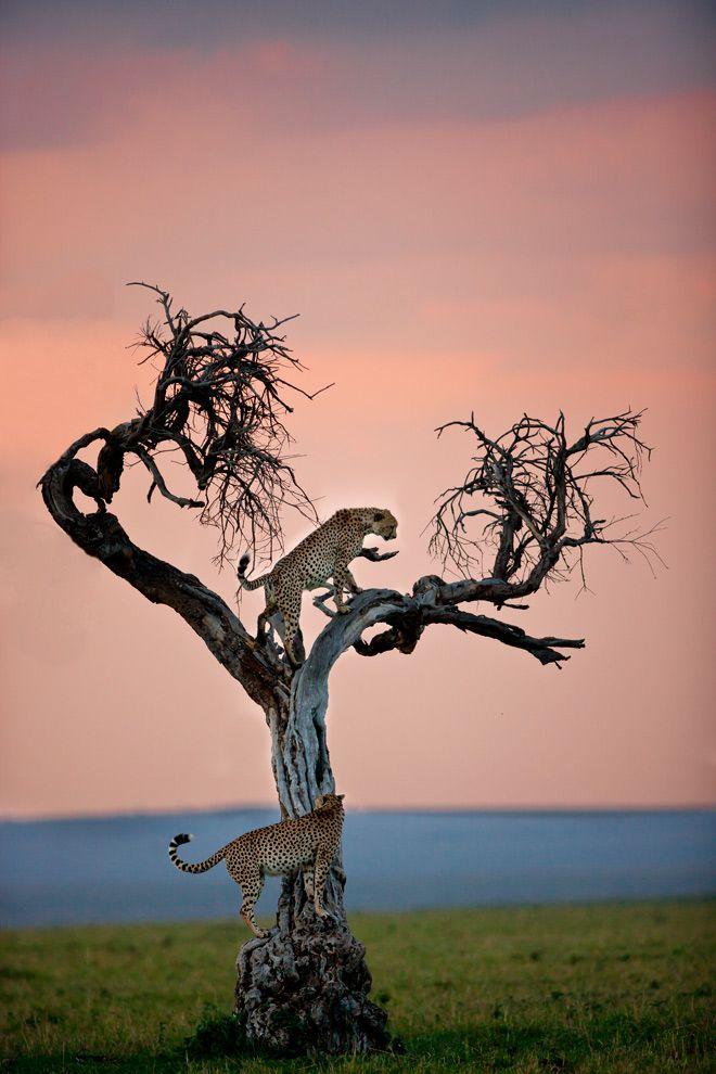 big cats tree