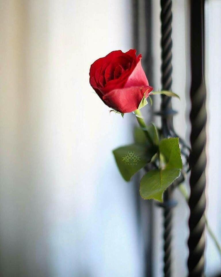 Ana Rosa Flower Photos Flower Iphone Wallpaper Beauty Iphone Wallpaper